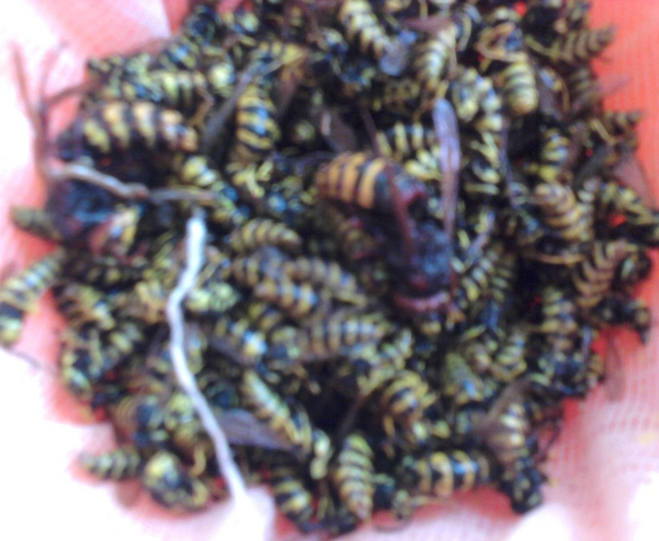 Как спасти пчёл от нападения ос на пасеке осенью