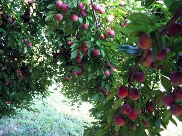Рекомендации по выращиванию сливы красный и золотой шар