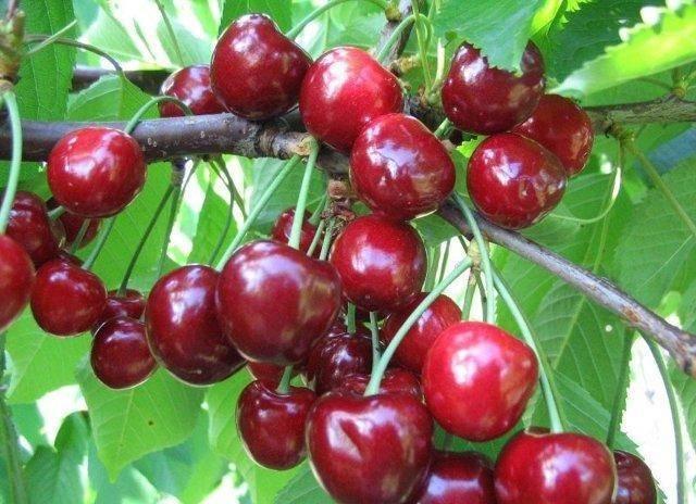 Особенности черешни сорта любимица астахова