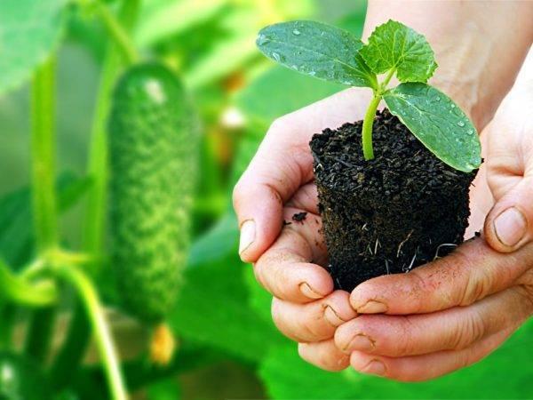 Рассада огурцов вытянулась: что делать, причины вытягивания, как выращивать саженцы чтобы они не вытягивались
