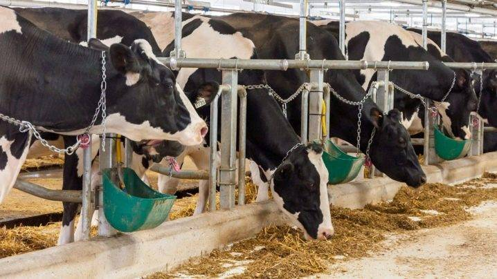 Беспривязное и привязное содержание коров: стойловое оборудование для крс привязного содержания, технологии доения. беспривязное содержание на глубокой подстилке