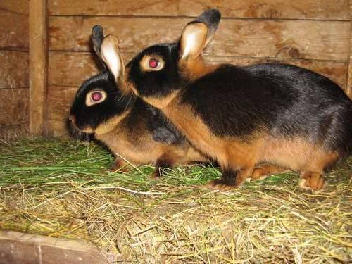 Самые крупные породы кроликов: описание и характеристика, особенности содержания