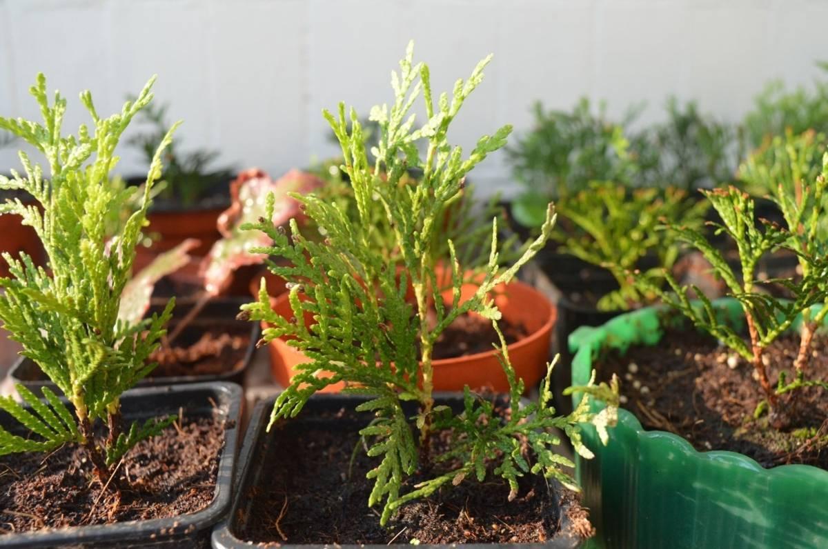 Размножение елей: как размножить черенками весной? как укоренить и вырастить ель из ветки в домашних условиях?