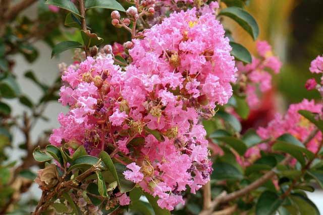 Лагерстремия: выращивание и уход за растением