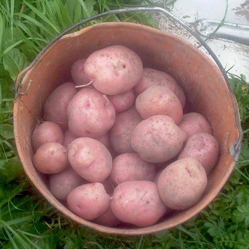 Сорт картофеля ильинский: описание и характеристика, отзывы