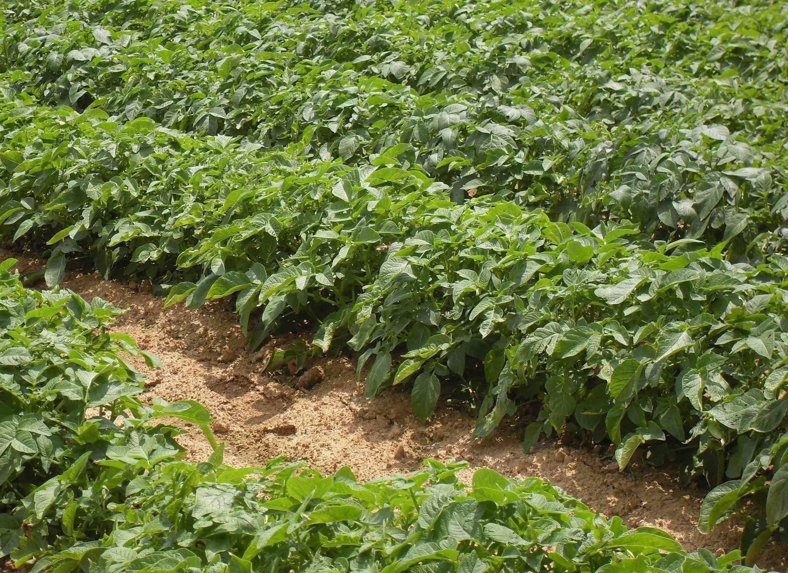 Картофель сынок описание. описание сорта картофеля сынок, или богатырь