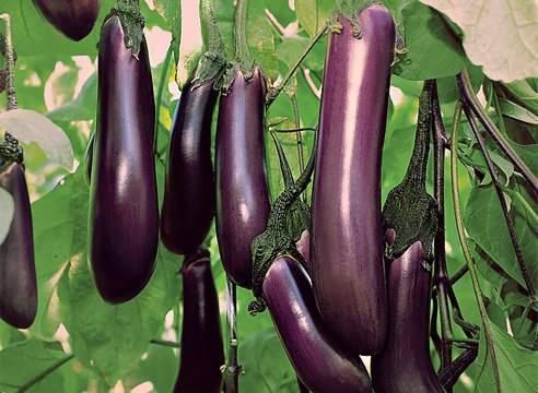 Баклажан икорный f1 — описание сорта, отзывы, урожайность и характеристика