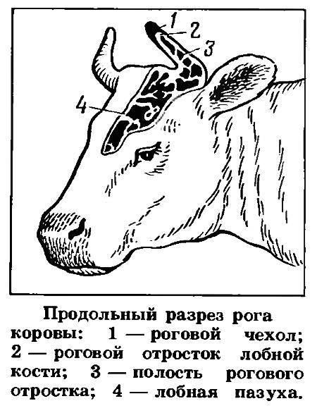 Что делать, когда корова отелилась?
