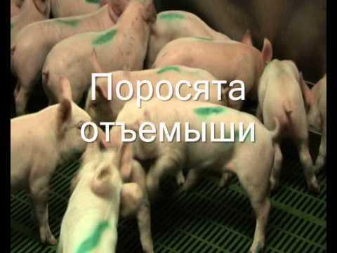 Советы экспертов свиноводства на портале piginfo.ru   подсаживание поросят