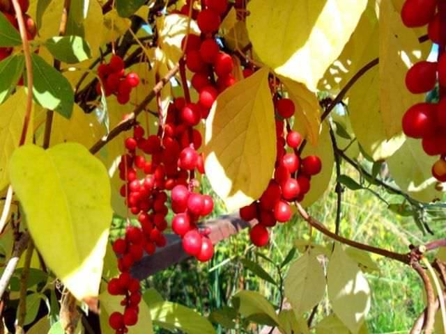 Лимонник китайский: выращивание, уход на урале и в подмосковье