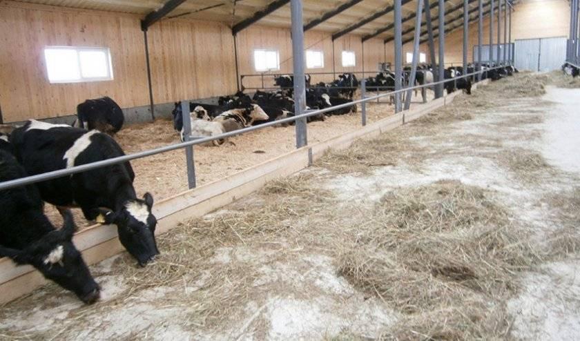 Способы содержания коров, быков и молодняка