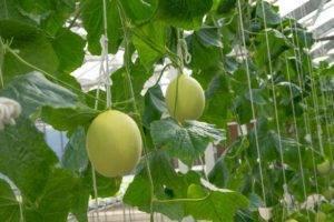 Выращивание огурдыни в открытом грунте