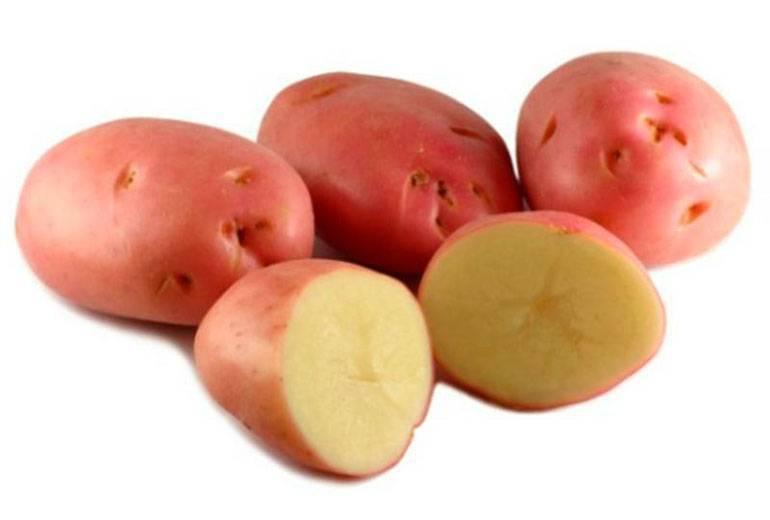 Картофель «белая роза»: лидер продаж среди ранних сортов