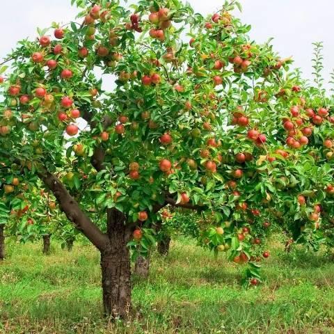 Чем хороша яблоня алтайская красавица?