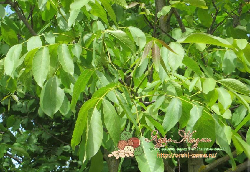 Как растет грецкий орех: фото, плодоношение