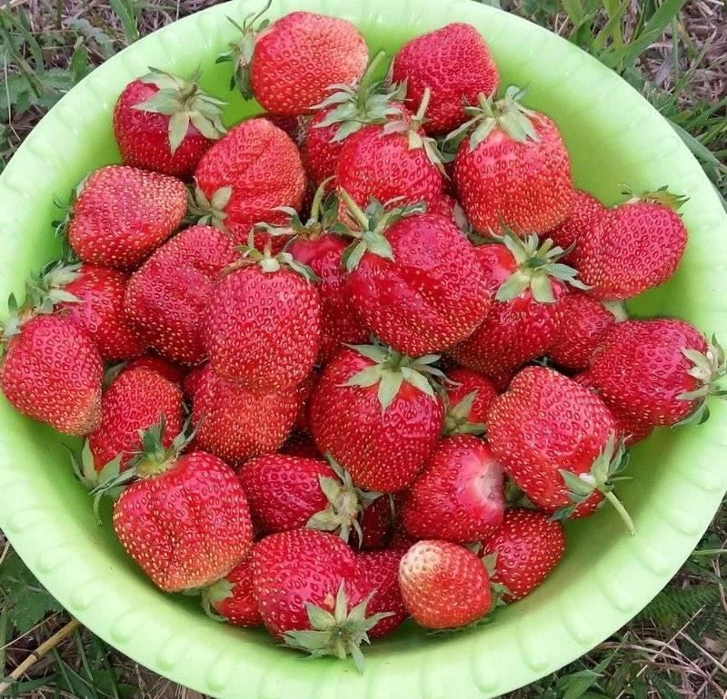 Клубника фестивальная: описание проверенного временем ягодного сорта, особенности выращивания для хорошего урожая