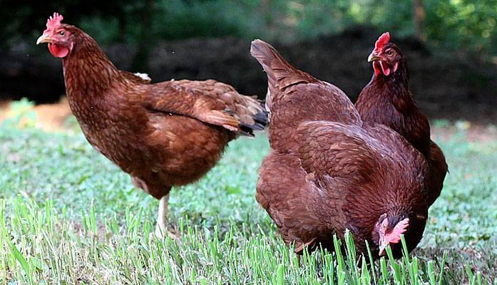 Лучшие породы кур для разведения в домашних условиях. основные нюансы выращивания и ухода