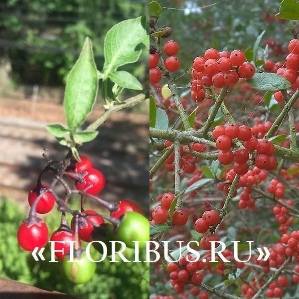 Когда следует собирать плоды, листья, корни и кору барбариса