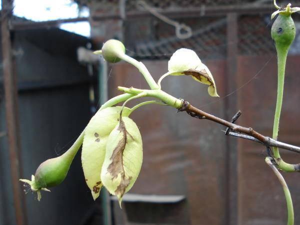 Сохнет и чернеет груша: причины, меры борьбы и профилактики