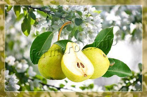Чем подкормить грушу осенью, чтобы был хороший урожай?