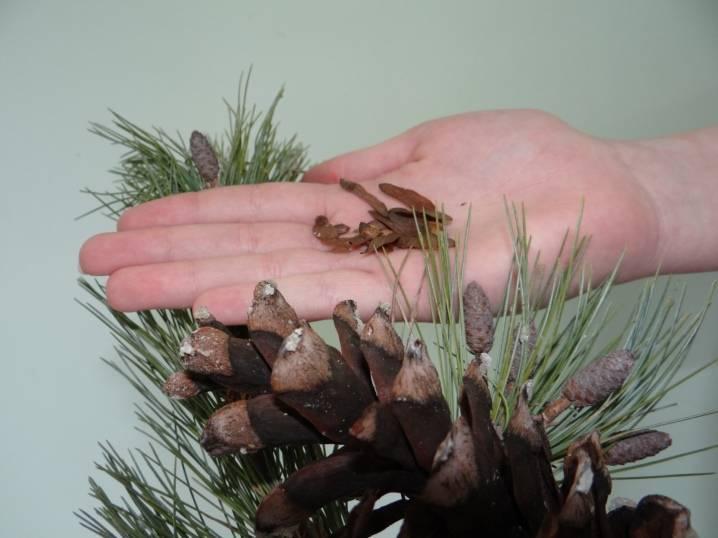 Как вырастить сосну в домашних условиях из семян?