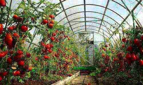 Детерминантные помидоры: формирование, пасынкование + видео