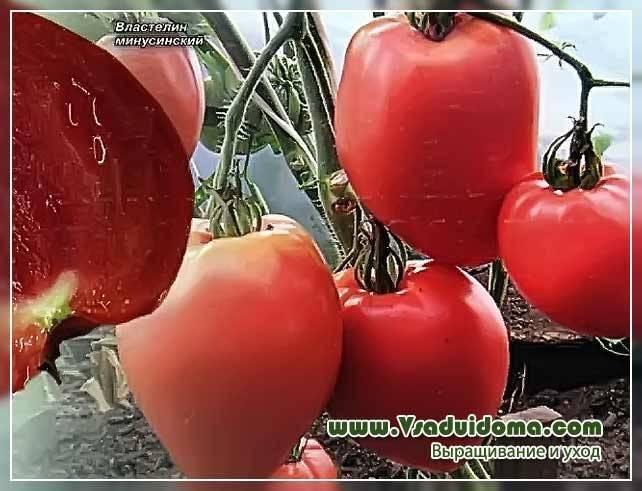 Сорта помидоров для Краснодарского края
