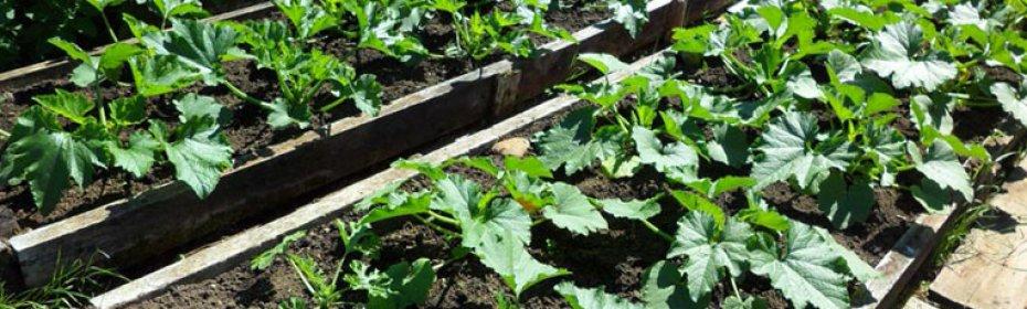 Посадка кабачков на рассаду: сроки посева и правила ухода в домашних условиях за всходами до высадки в грунт