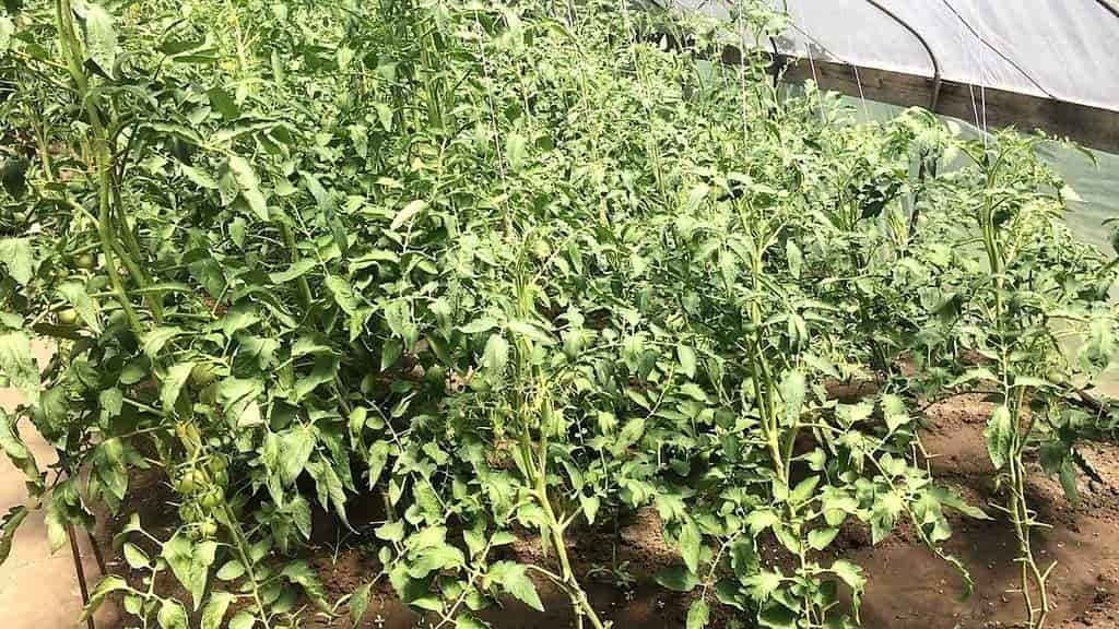 Как правильно пасынковать помидоры в теплице + схема пасынкование сортов