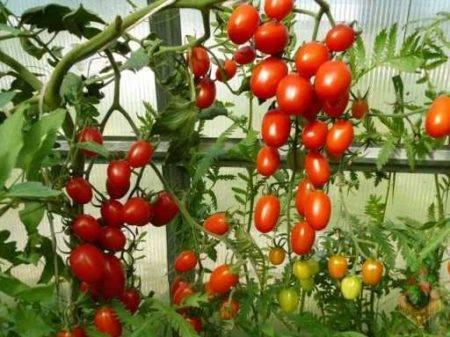 Помидоры спрут: как вырастить, секретная технология выращивания томатов f1 и развитие агротехники