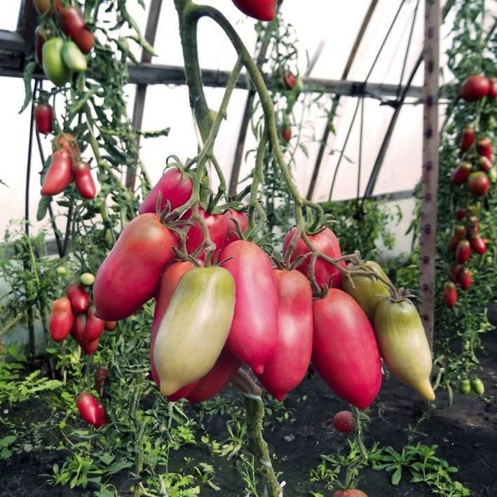 Описание и характеристики сорта томатов «медвежья лапа»