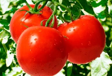 Томат «киржач»: особенности выращивания и уход