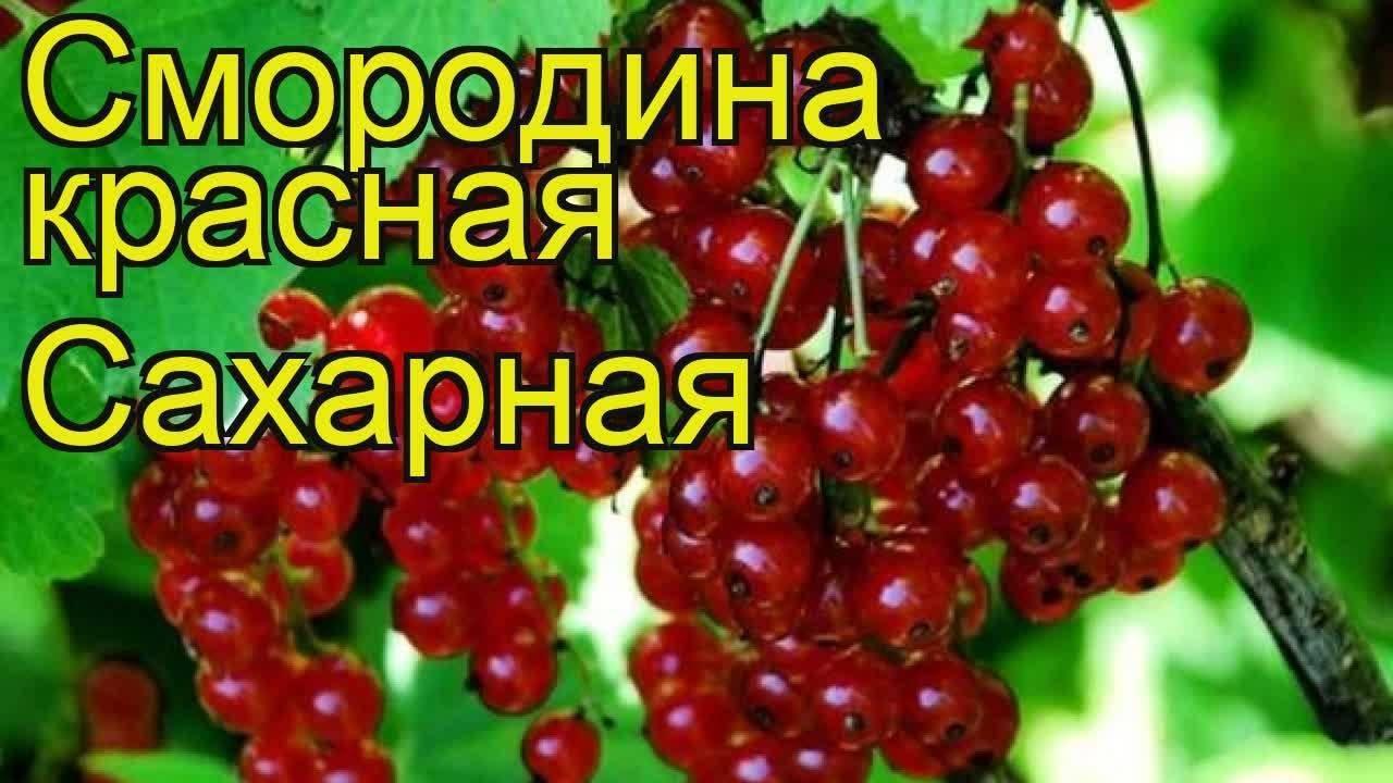 Красная смородина – посадка, уход и размножение. жми!