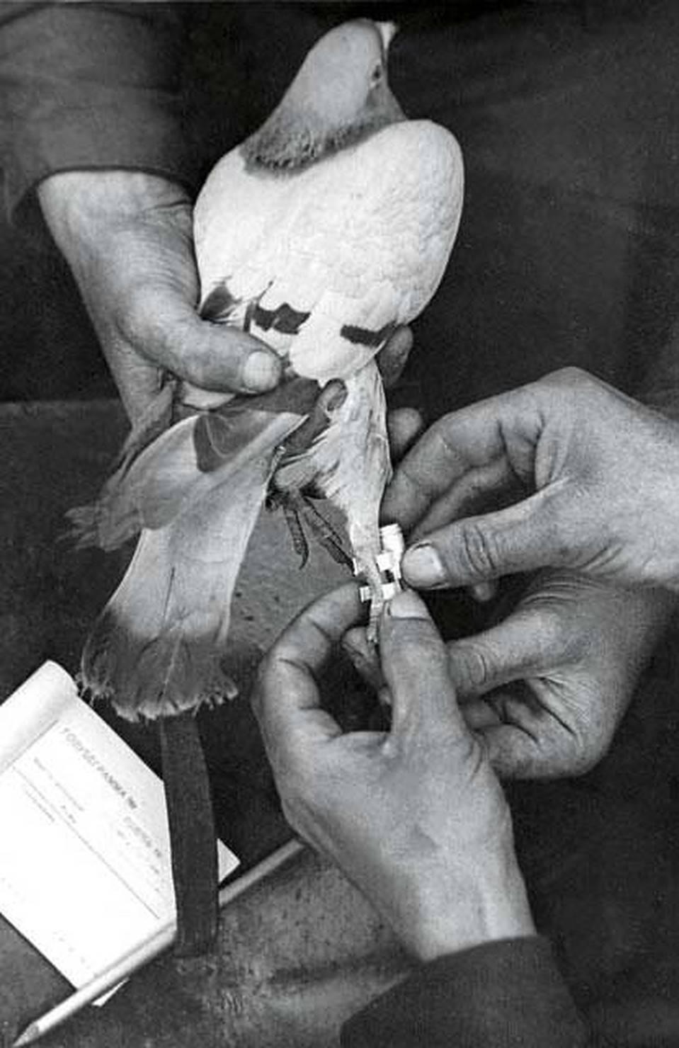 Как работает голубиная почта: история, основы, принципы и методы работы, правила обучения голубей, их использование, интересные данные и факты - общая информация - 2020