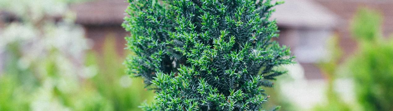 Кипарисовик элвуди — декоративный хвойник для дома и участка