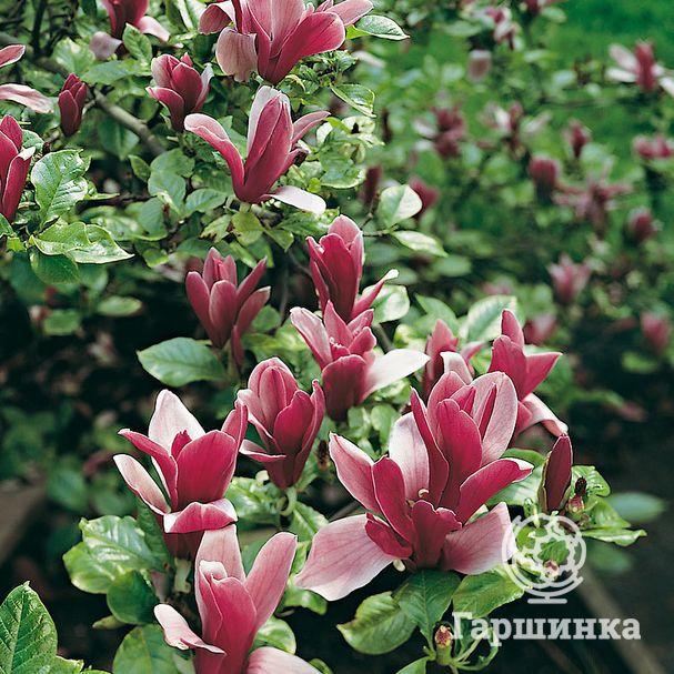 Растение магнолия: фото, виды, выращивание, посадка и уход