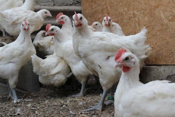 Порода кур бресс гальская — разведение, особенности содержания и кормления
