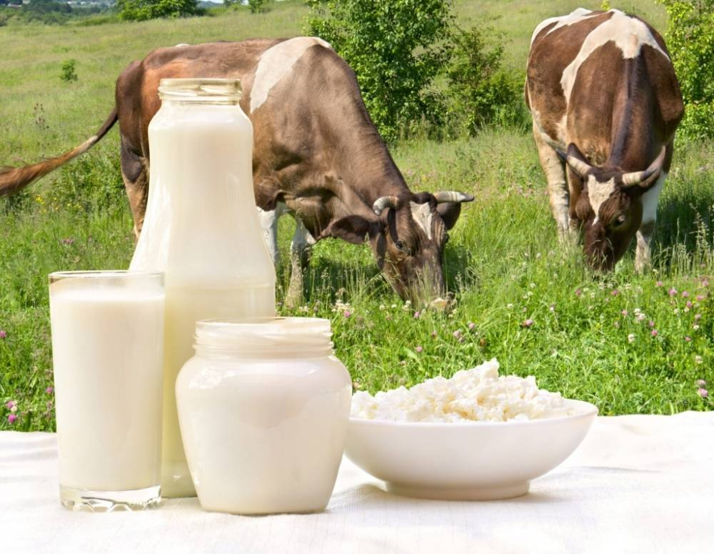 Лактация у коров: фазы и продолжительность