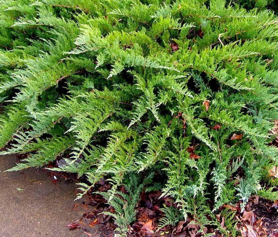 Можжевельник тамарисцифолия: описание и фото, выращивание