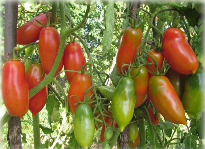 Сортовая характеристика томата хохлома
