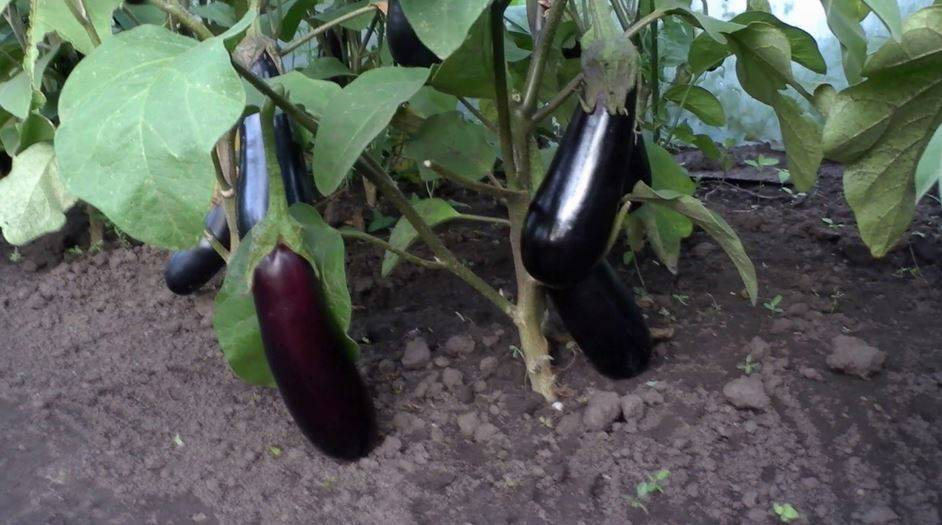 Баклажан марципан f1: описание, фото, отзывы