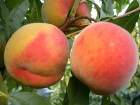 Поздние сорта персика