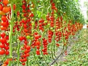 Лучшие сорта томатов 2020 года