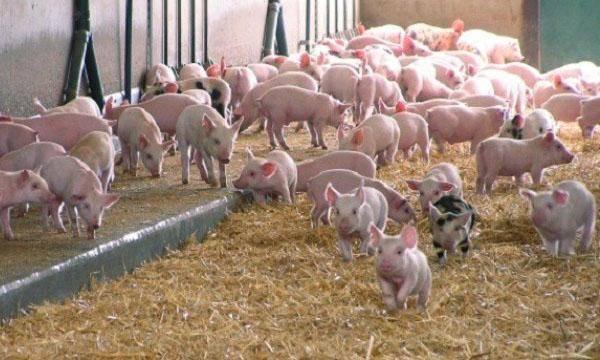 Кормление лактирующих свиноматок: опыт фермера, получающего 39 отъемных поросят на свиноматку