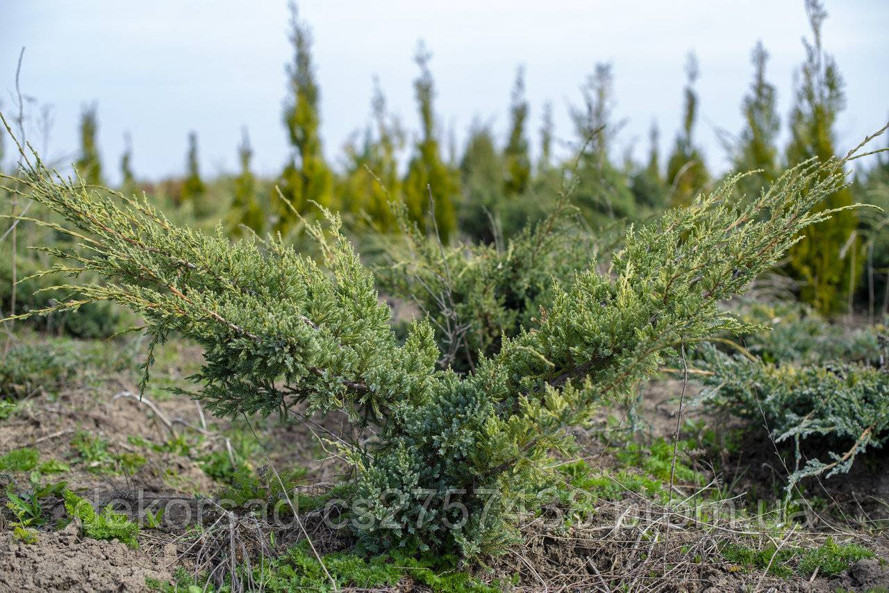 Можжевельник чешуйчатый holger (холгер): описание и фото в ландшафтном дизайне