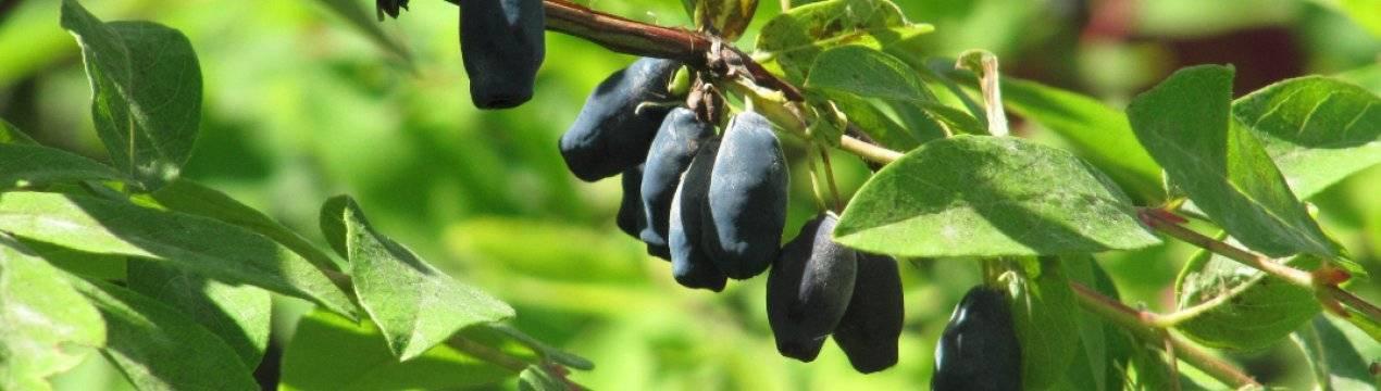 Жимолость фианит: характеристика и особенности выращивания