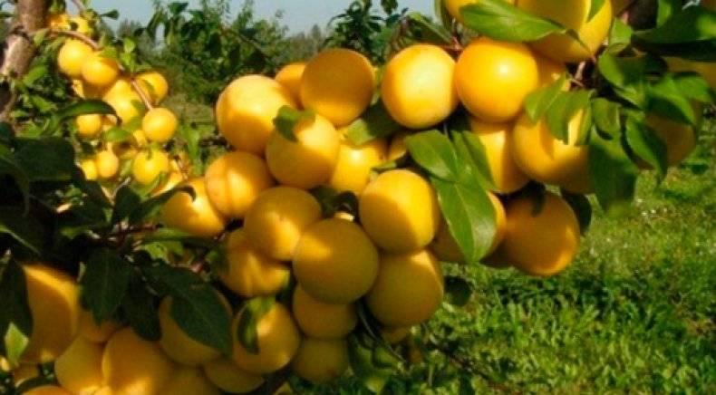 Слива юбилейная — описание сорта, фото, отзывы садоводов