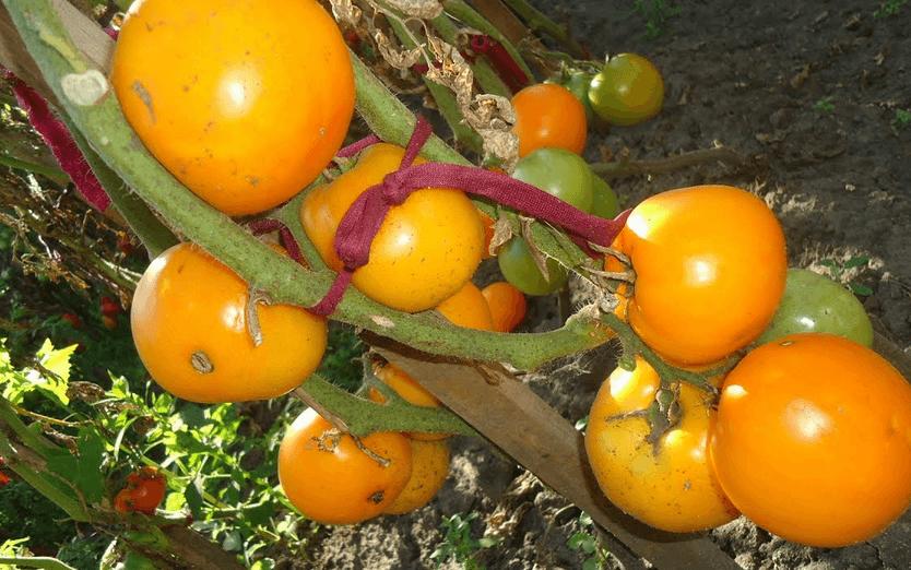 Томат хурма – описание сорта, характеристика, выращивание и уход
