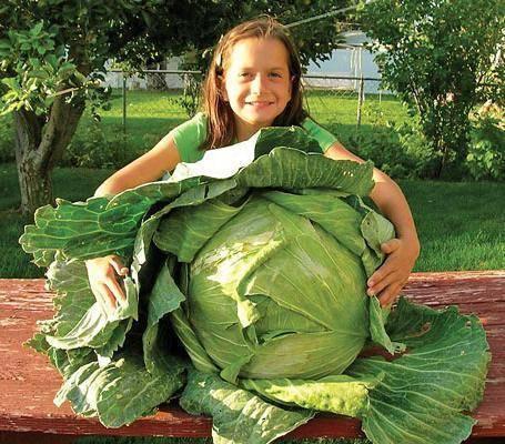 Описание сорта и фото капусты мегатон f1. уход за овощем, размножение и борьба с болезнями