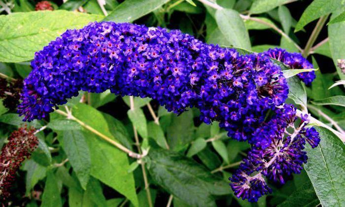 Доступная экзотика: выращивание цветка буддлея давида в подмосковье